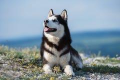 说谎在backgr的一座山的黑白西伯利亚爱斯基摩人 库存照片