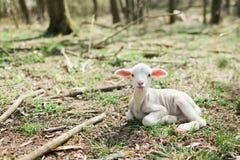 说谎在forrest的草的逗人喜爱的羊羔在生物农场 免版税库存图片