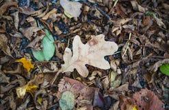 说谎在wal的石渣的其他下落的叶子的退色的秋天橡木叶子 免版税图库摄影