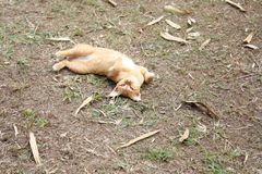 说谎嬉戏的猫和转动面朝上在庭院,亚洲猫 库存照片