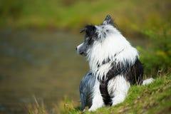 说谎的博德牧羊犬狗本质上 免版税库存照片