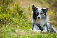 说谎的博德牧羊犬狗本质上 库存图片