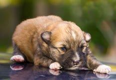 说谎的新出生的小狗 免版税库存图片
