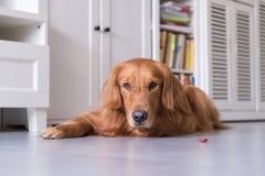 说谎的金毛猎犬在地面上 库存照片