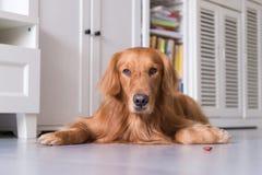 说谎的金毛猎犬在地面上 图库摄影