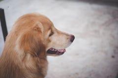说谎的金毛猎犬在地面上 免版税库存照片