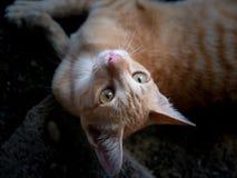 说谎黄色镶边白色的小猫和查寻 免版税库存照片
