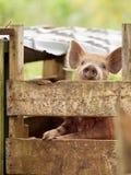 请求小猪 免版税图库摄影