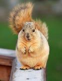 请求逗人喜爱的灰鼠 库存照片