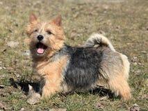 诺威治狗 免版税库存照片
