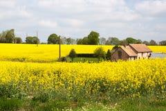 诺曼底/法国:在春天期间,在开花的油菜籽中间的一间老传统农舍在法国乡下调遣 图库摄影