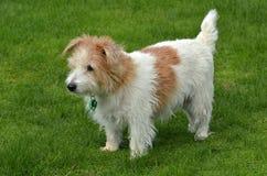 诺福克在绿草的狗立场 免版税图库摄影