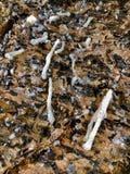 诺福克岛在它的吠声的杉树水滴的白色胶树汁, 免版税库存照片