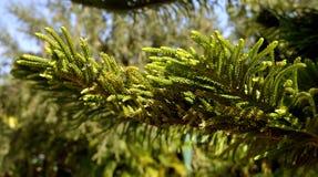诺福克岛杉木拉丁名字南洋杉heterophylla 库存照片