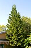 诺福克岛杉木 免版税库存图片