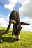 诺福克Broads,吃草在夏时的草的驴 库存图片