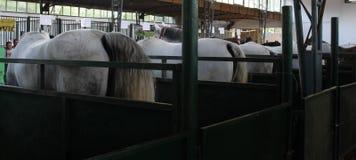 诺维萨德,塞尔维亚, 20 05 2018公平,许多不同的马 免版税库存照片