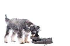 调查一双老鞋的髯狗 免版税库存照片