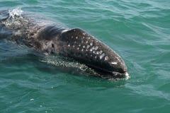 调查一条小船的灰鲸科小牛 免版税库存图片