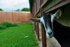 调查与农场的照相机的黑白山羊在背景中 库存图片