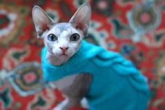调查在毛线衣的照相机的Sphynx猫 免版税库存图片
