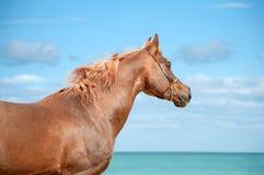 调查在海背景的距离一匹红色阿拉伯公马的美丽的画象 免版税库存照片