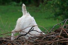 调查堆干燥分支的杰克罗素狗 免版税库存照片