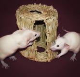 调查干草嚼小屋的好奇白色鼠 免版税图库摄影