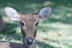 调查摄象机镜头的鹿 库存图片