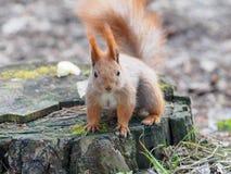 调查照相机和摆在树桩的逗人喜爱的红松鼠  免版税库存图片