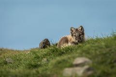 调查照相机斯瓦尔巴特群岛的好奇白狐崽 库存图片