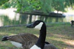 调查照相机的加拿大鹅在公园湖旁边 免版税库存图片