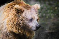 调查照相机的哀伤的棕熊 免版税库存照片