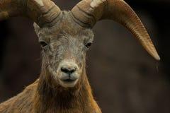 调查照相机的大角野绵羊 免版税库存图片
