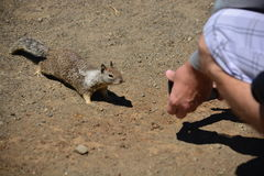 调查照相机的好奇啮齿目动物 免版税图库摄影