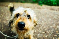 调查照相机的小卷毛狗 库存照片