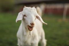 调查照相机的年轻山羊孩子,与开放的嘴,可看见小的牙 库存图片