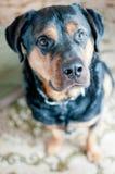 调查照相机的幼小Rottweiler狗 库存照片