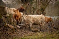 调查照相机的棕色母牛牧群  免版税库存照片