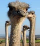 调查照相机的特写镜头驼鸟 免版税库存图片
