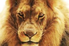 调查照相机的狮子的画象 库存照片