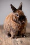 调查照相机的红色毛茸的兔宝宝 免版税库存图片