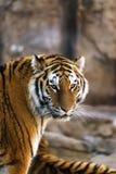 调查照相机的阿穆尔河老虎 免版税库存图片