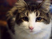 调查照相机的CPretty猫 免版税图库摄影