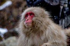 调查距离的一只成人日本短尾猿 库存照片