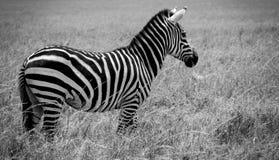 调查距离的独奏斑马 免版税库存照片