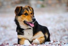 调查距离的一条饥饿的狗 库存照片