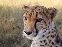 调查距离的猎豹 库存图片