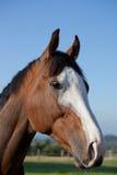 调查距离的纯血种马的画象 库存照片