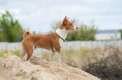 调查距离的Basenji狗 库存图片